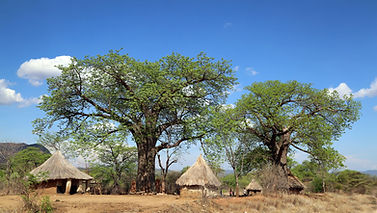 EcoProducts B'Ayoba baobab tree