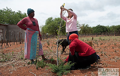 EcoProducts B'Ayoba baobab tree planting