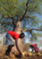 EcoProducts B'Ayoba baobab fruit harvest