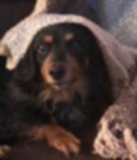 dachshund Pippin