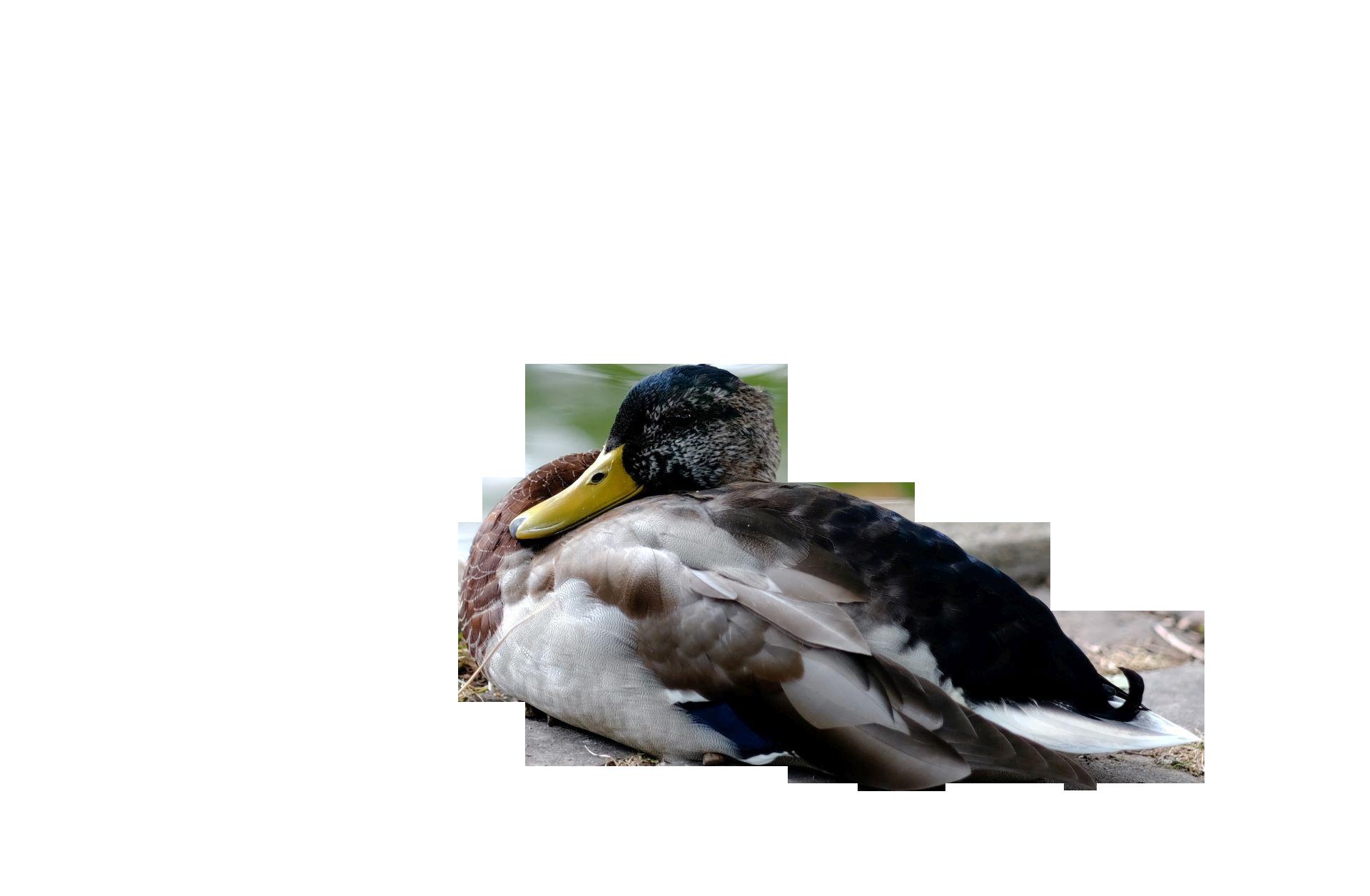 duck-989387_Clip