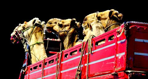 camels-1601420_960_720.png