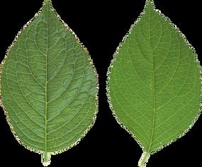 Green leaf, free PNGs