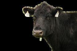 cow-1086003_Clip