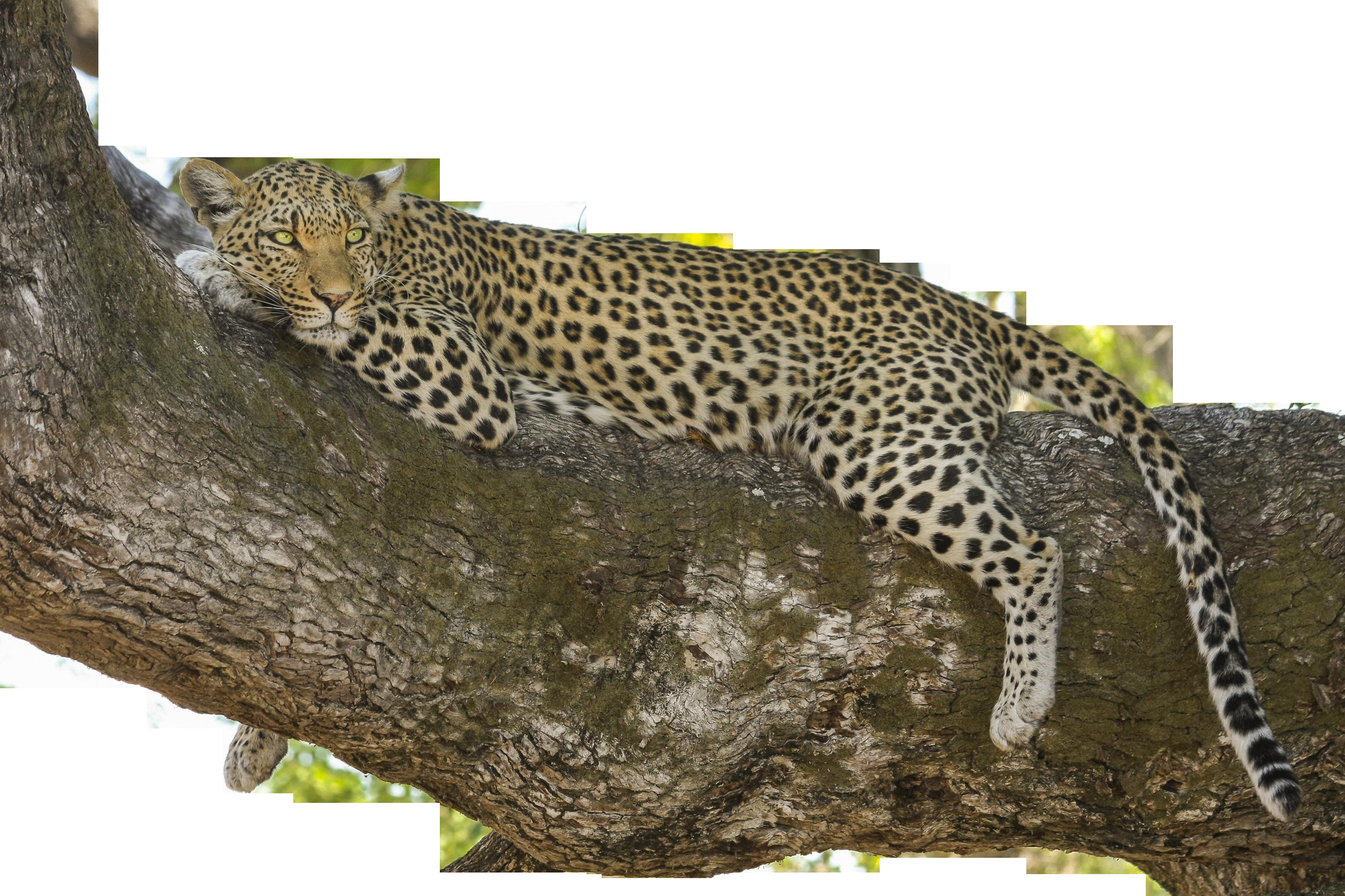leopard-518210_Clip