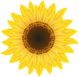 Sunflower, free pngs