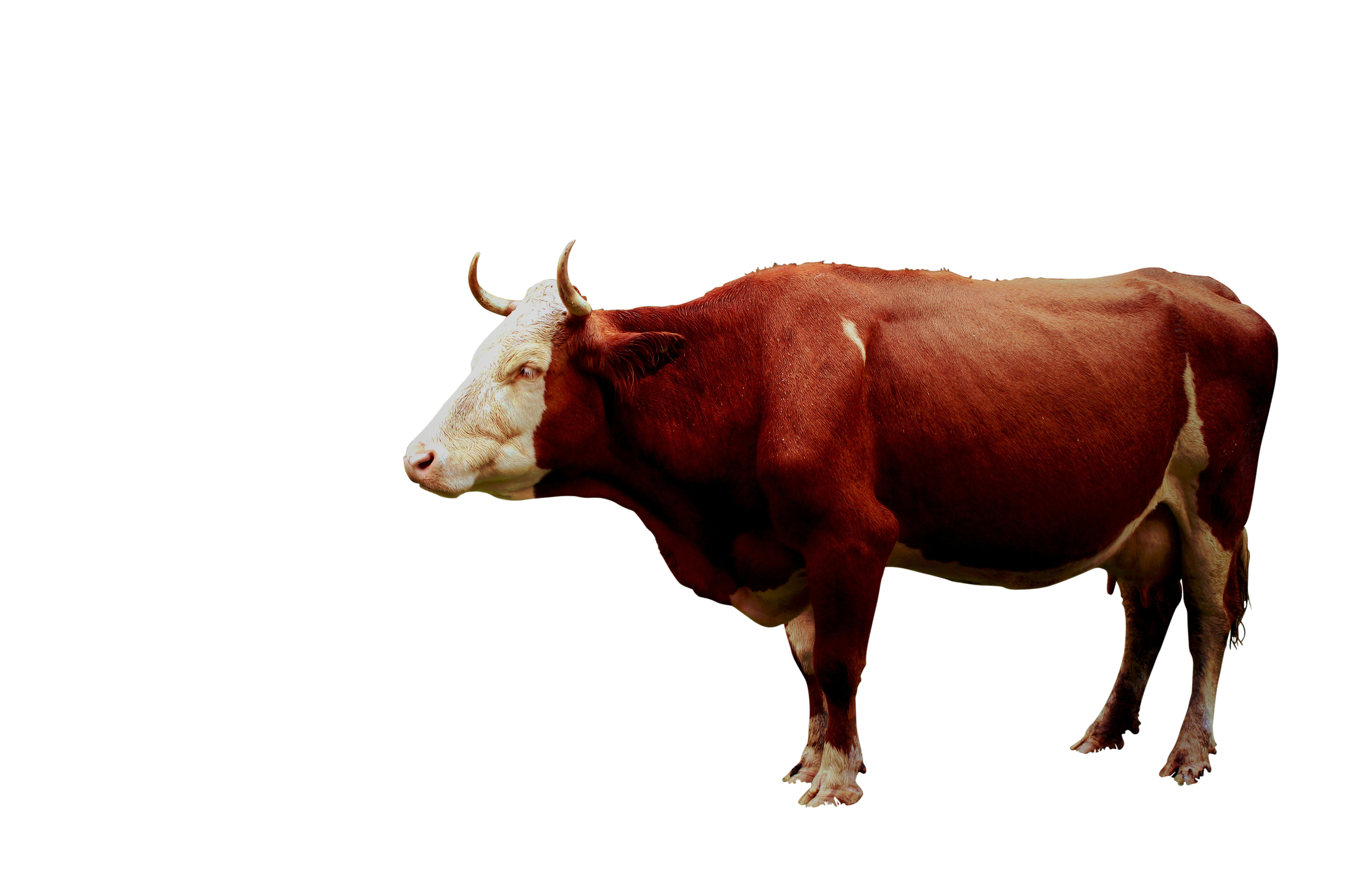 cow-944455_Clip