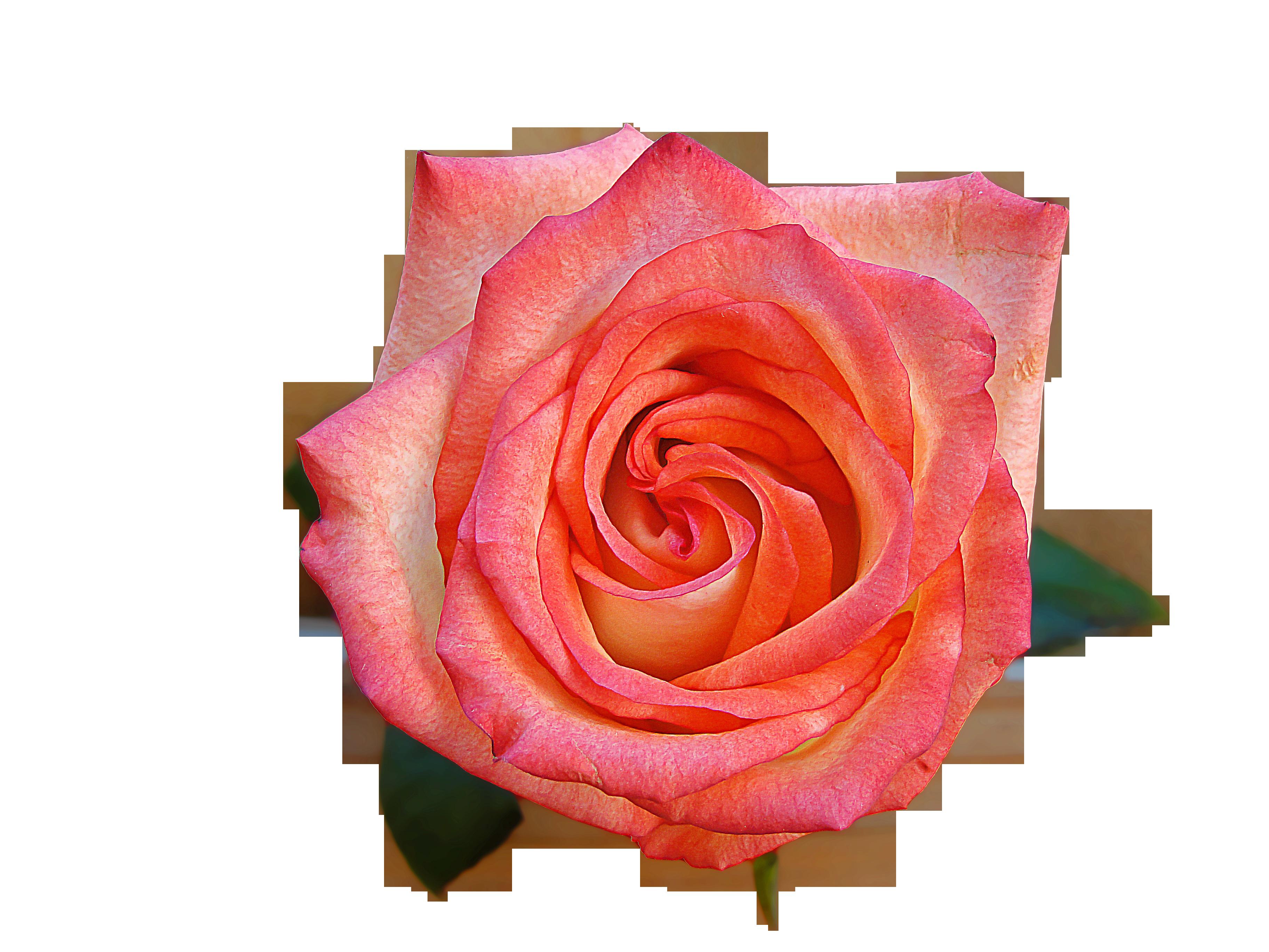 rosa-947774_Clip