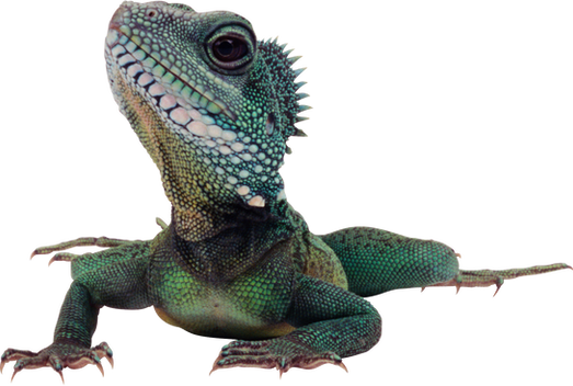 Complete animal free PNG collection, Free PNGs has tens of thousands of free transparent cutout PNG  images to download today.   - Top transparent PNG images. - Biggest PNG collection on the net.  - Unlimited downloads. - Check out our lizard collection today.