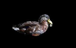 duck-1179792_Clip