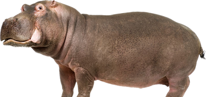 Hippo PNG images
