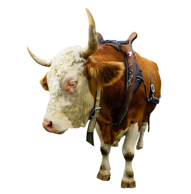 PNG images: cattle, cow