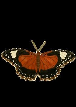 Cethosia_cydippe