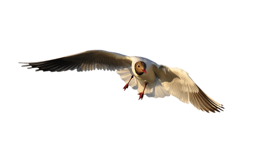 PNG images: flying, bird
