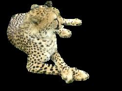 cheetah-164415_Clip