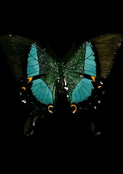 Papilio_buddha