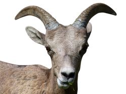 mountain-sheep-170360_Clip