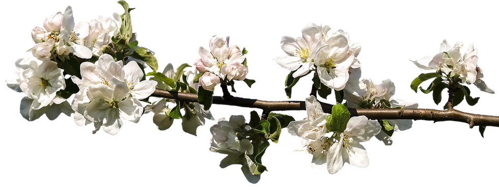 blossom-3062663_1920.png