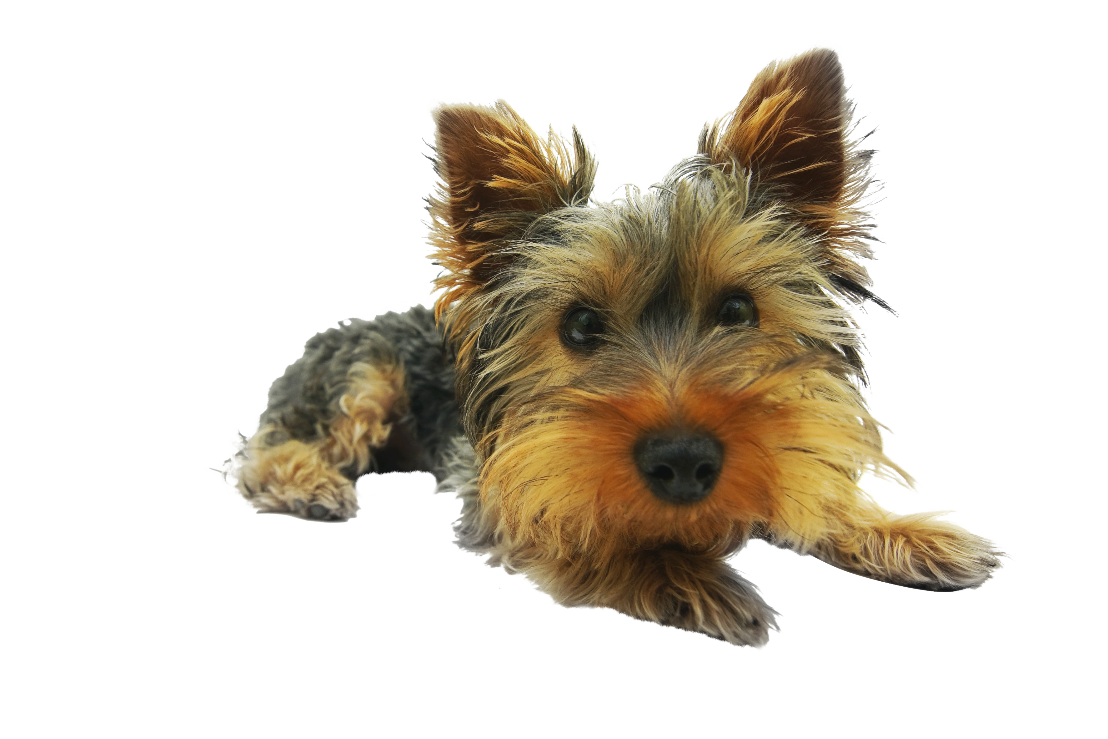 yorkshire-terrier-790361_Clip