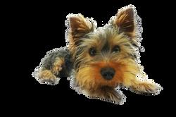 yorkshire-terrier-790361_Clip