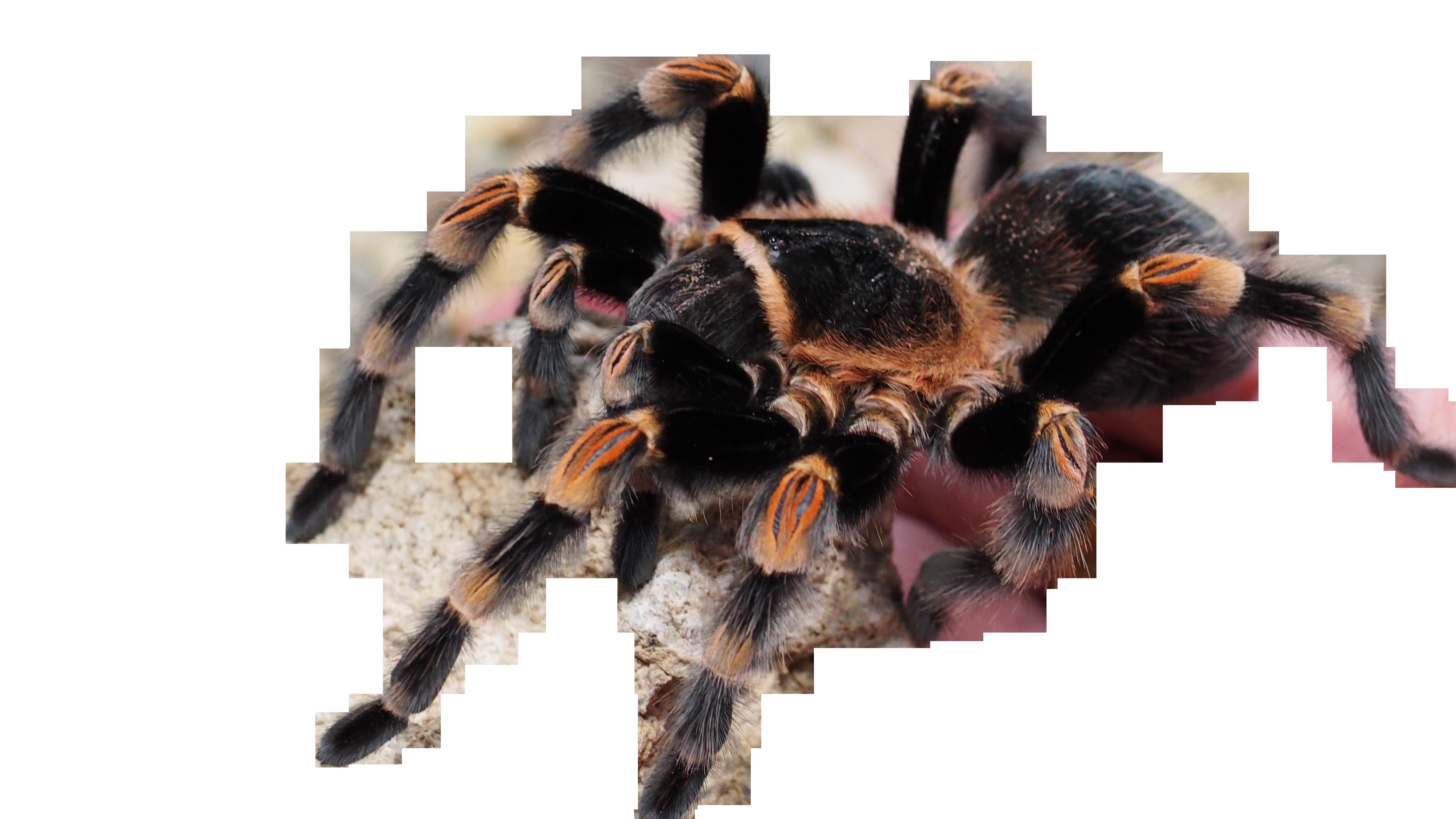 tarantula-1416346_Clip