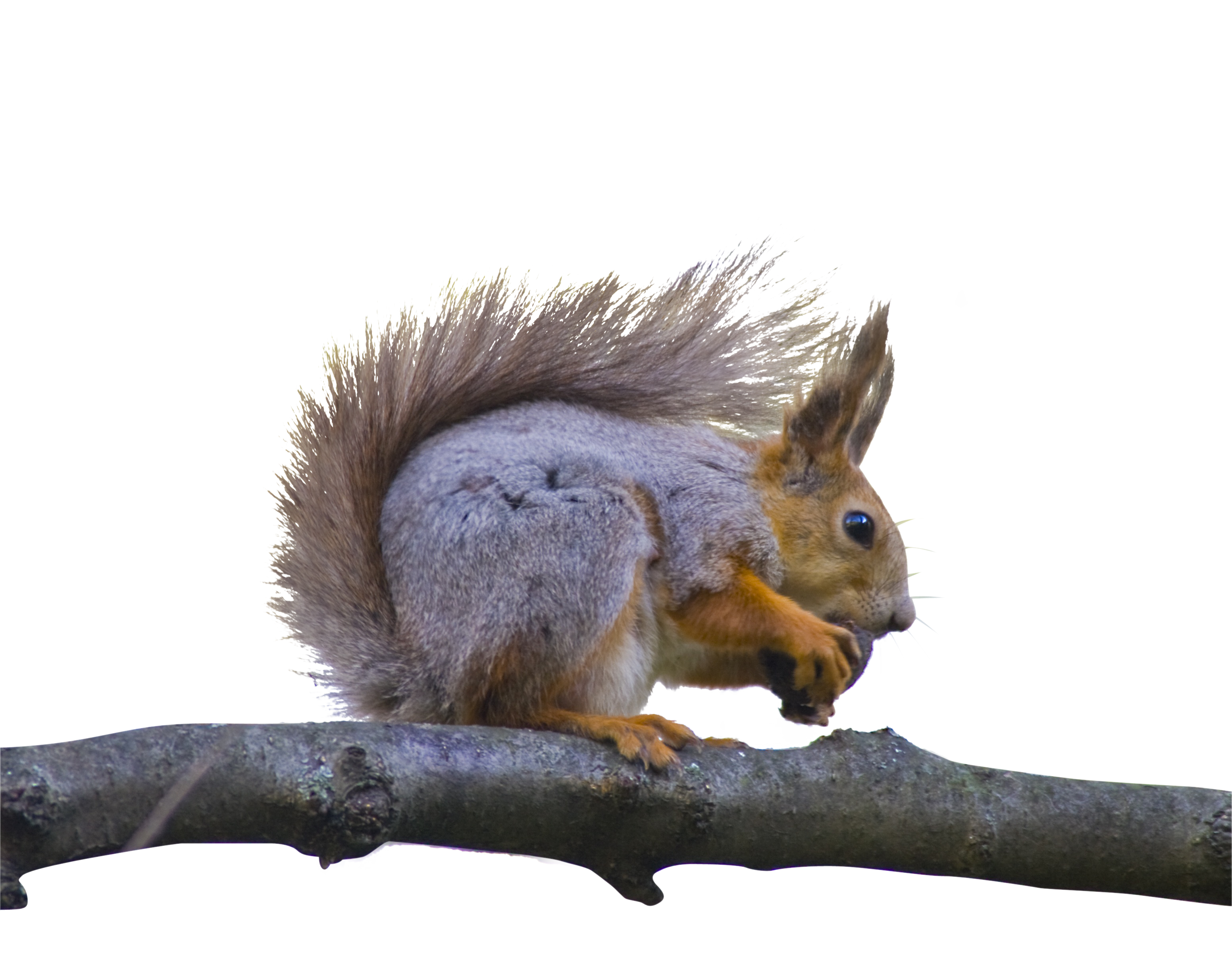squirrel-815265_Clip