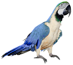 Free parrot png images.