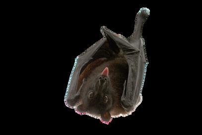 PNG images: bat