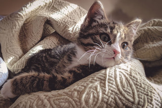Cossyimages Kitten (62).jpeg