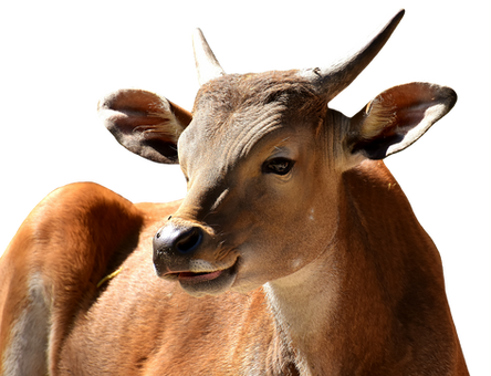 PNG images: cow