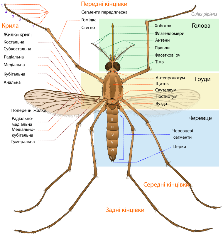 Culex_pipiens_diagram_uk