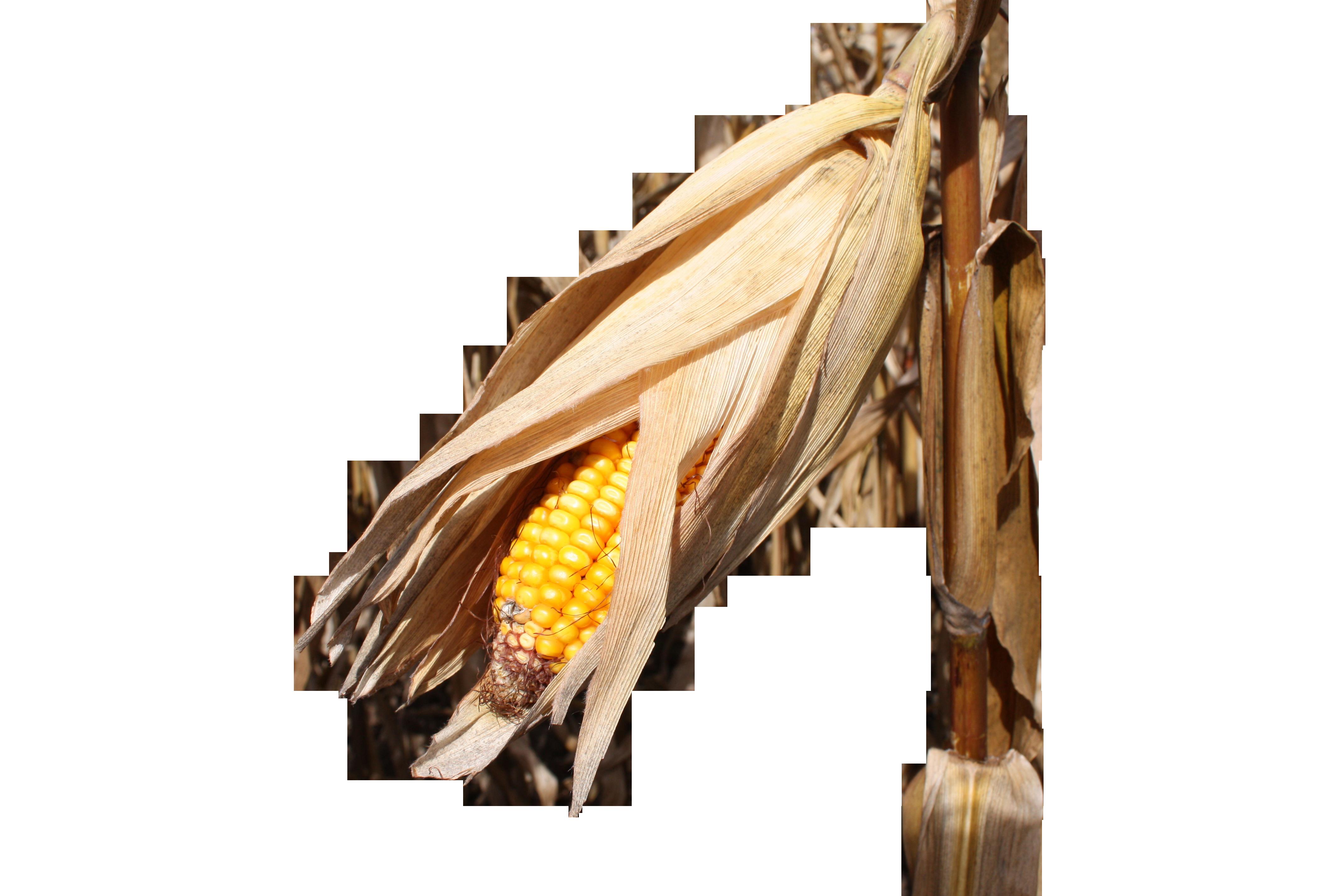 corn-985634_Clip