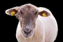 sheep-1187343_Clip