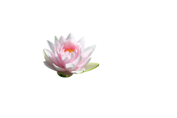 water-lilly-1227948_Clip