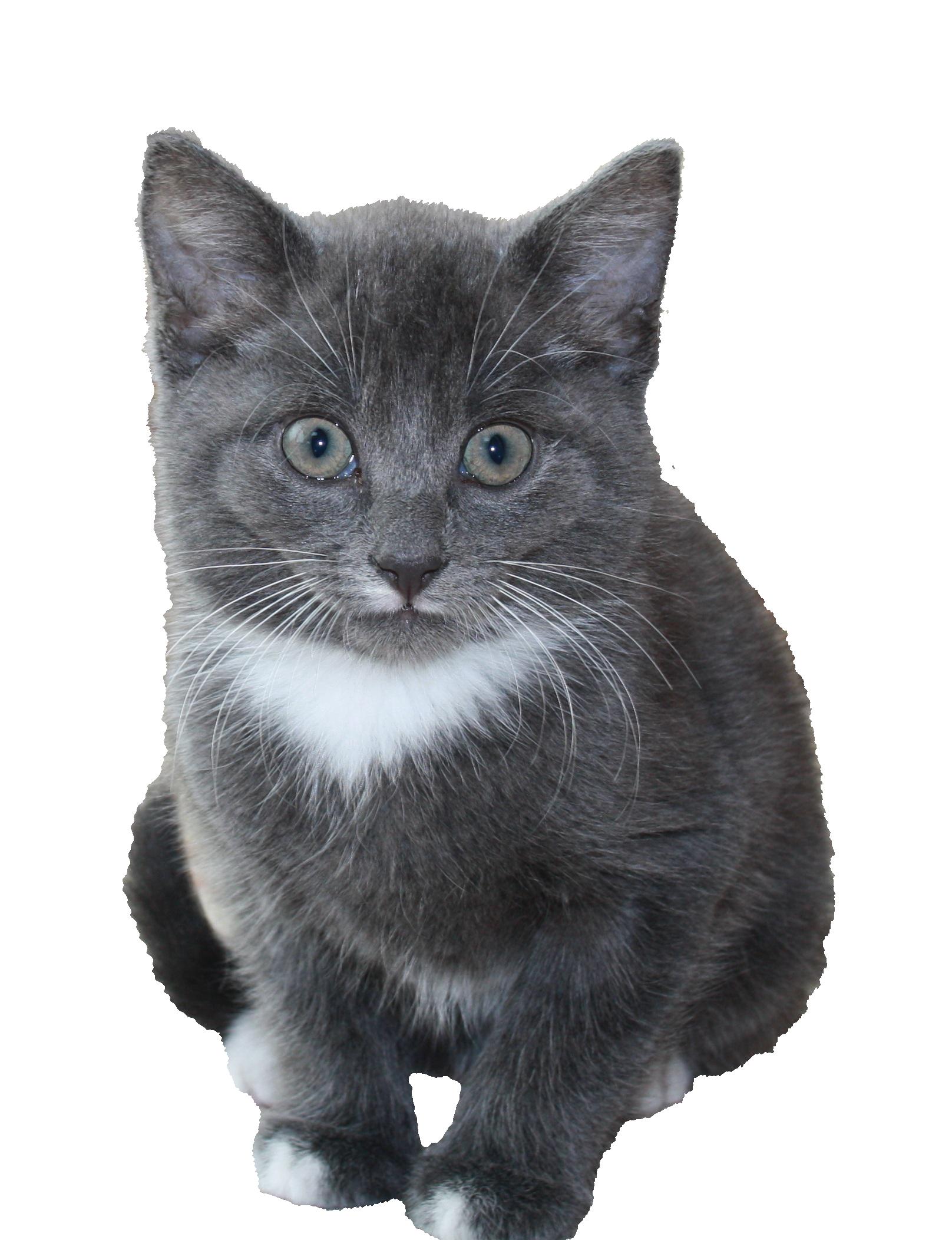 grey-cat-1262684_Clip