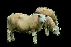 sheep-992924_Clip