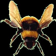 Bee free PNGs