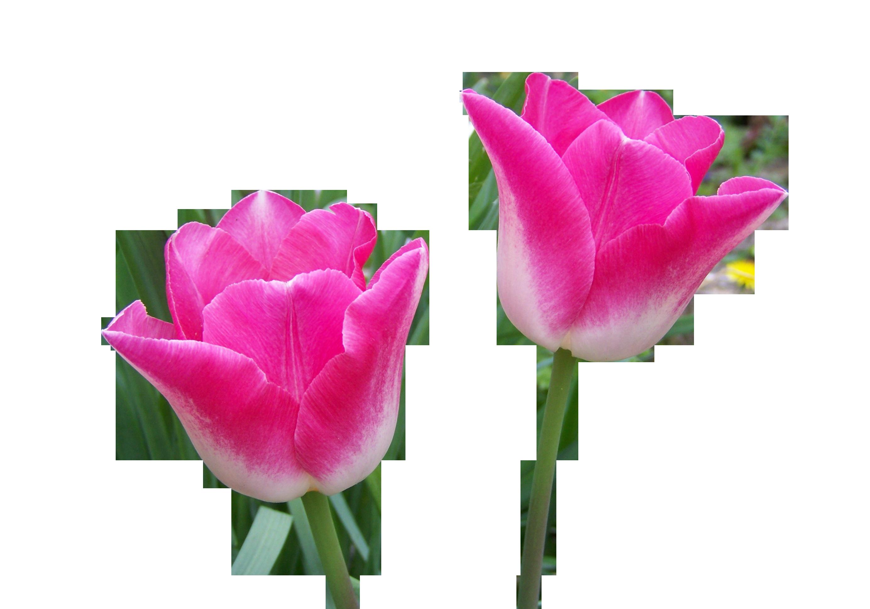 tulip-1228584_Clip