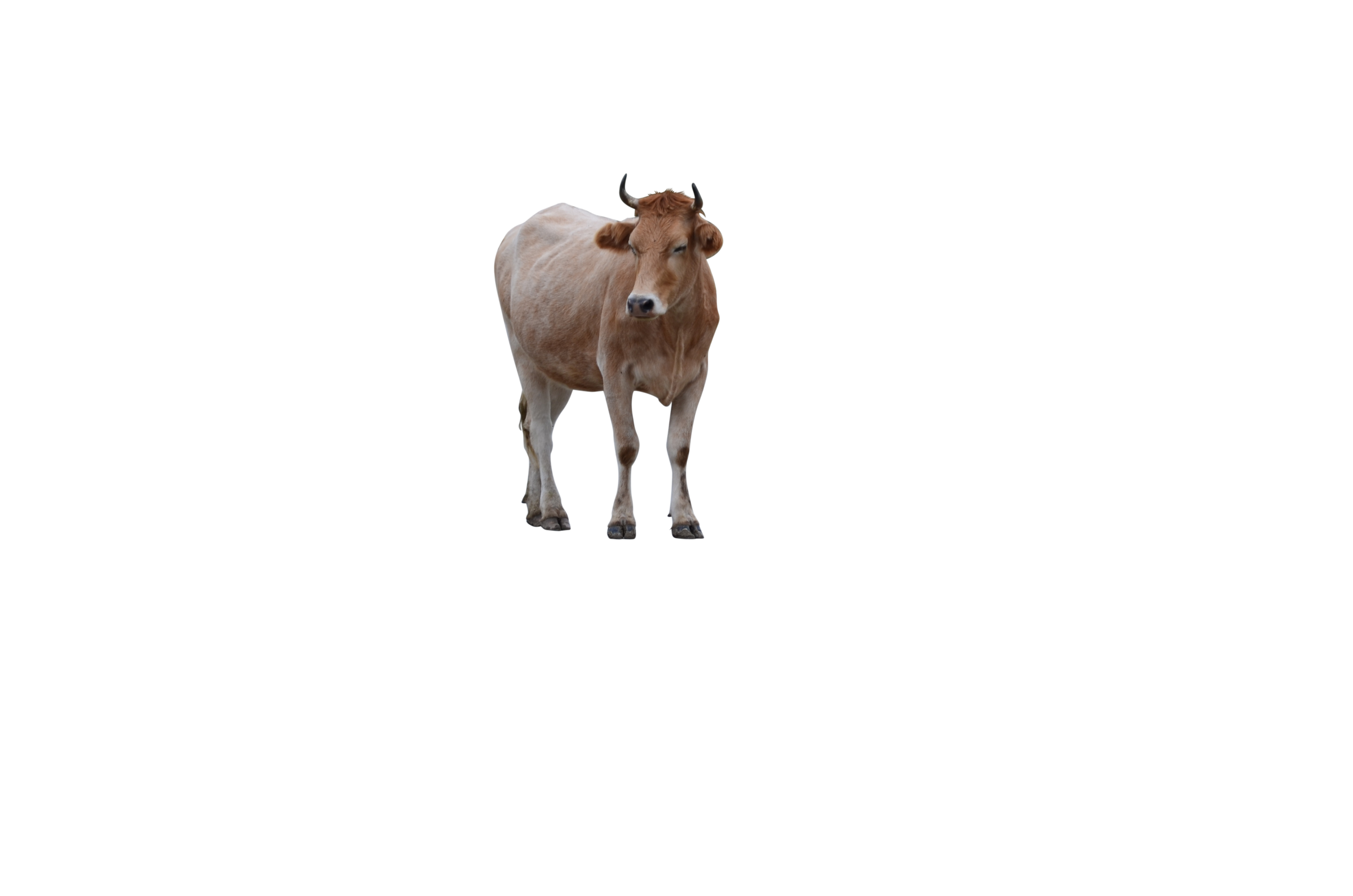 a-cow-on-the-road-985785_Clip