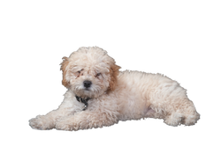 poodle-453024_Clip