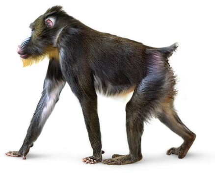 PNG images: Monkey