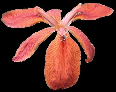 Iris (4).png