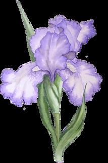 Iris (2).png