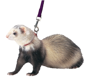 Free png ferret images.