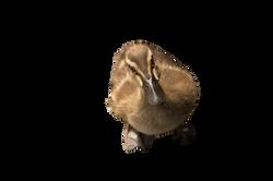 duck-583178_Clip