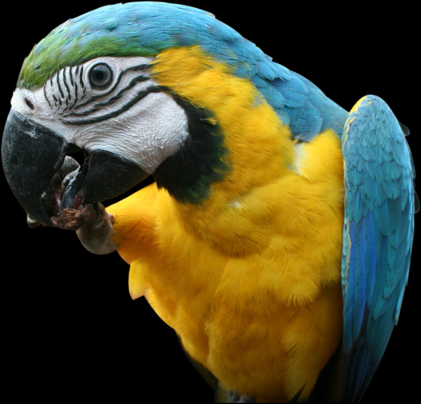 Free parrot png images