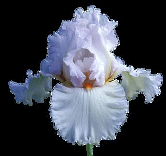 Iris (7).png