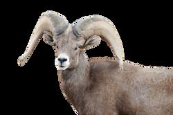 bighorn-sheep-959640_Clip