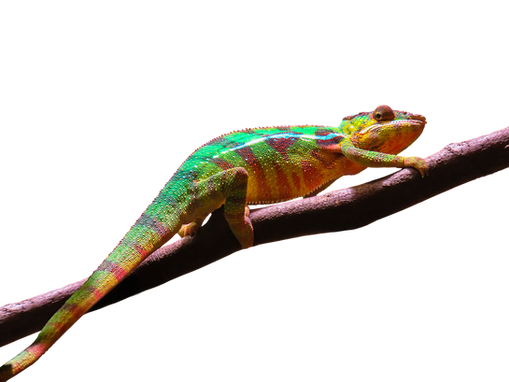 PNG images: lizards, reptile