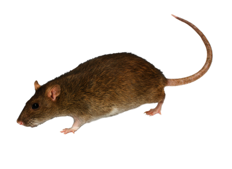 Free mice & rats png images.